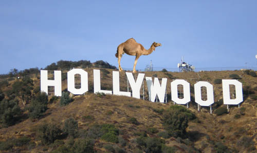 A Camel in Hollywood
